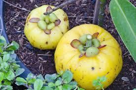 Garcinia cambogia.Fruit