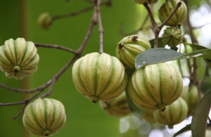 What garcinia-cambogia-fruit