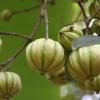 garcinia-cambogia-fruit2
