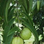 Natural Garcinia Weight loss